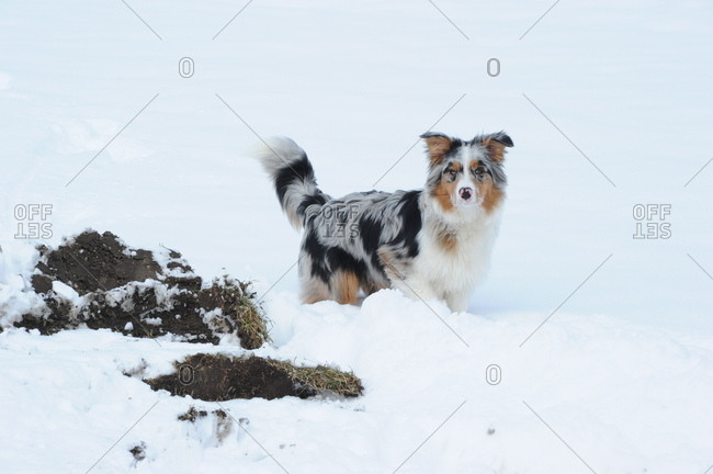 Australian shepherd dog in the snow