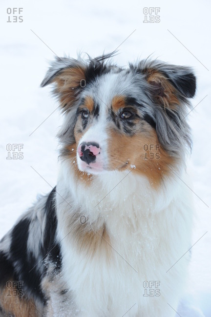 Australian shepherd dog in the snow, medium close-up