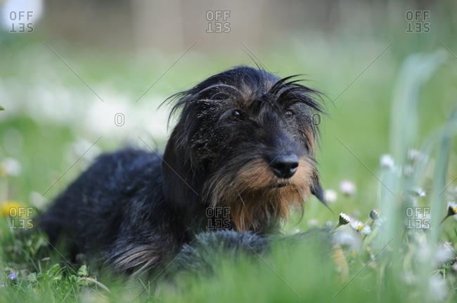 Wire-haired dachshund lies in the garden