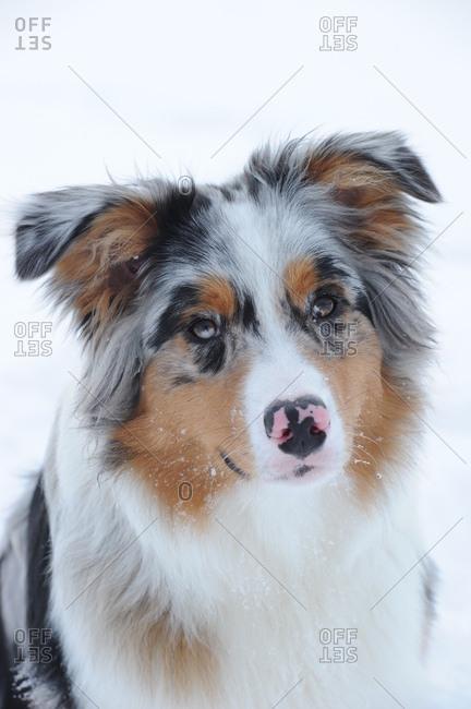 Australian shepherd dog in the snow, medium close-up