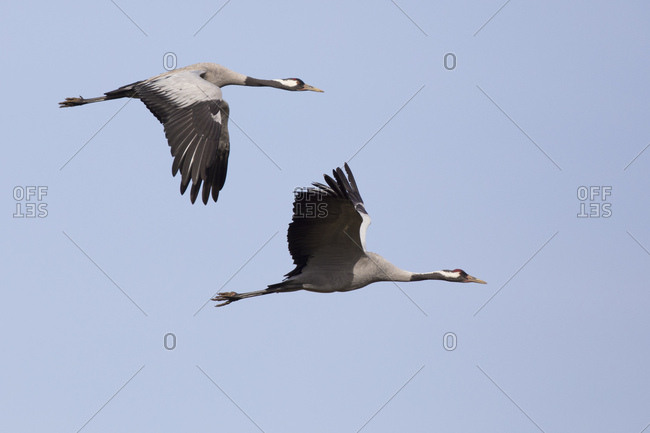 Crane, slack slack, two, fly