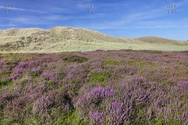 Heath in the dunes, amrum, north frisia, schleswig holstein, germany