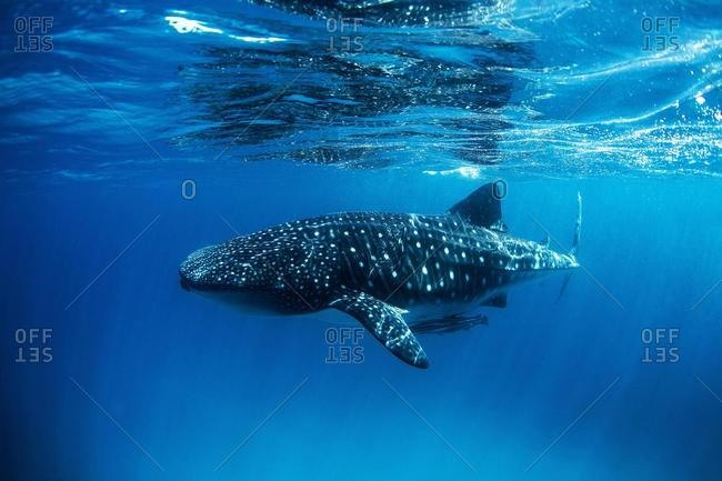 Whale shark with remoras swimming in ocean