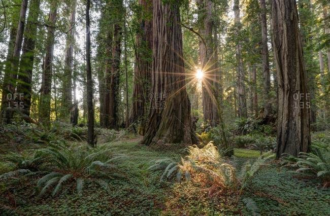 Sunburst through the trees, Redwood National Park, California, USA