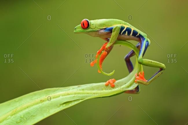 Red-eyed tree frog on the end of a leaf, Batam, Riau Islands, Indonesia