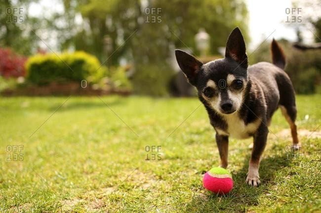 Chihuahua playing with ball in the garden