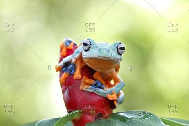Javan gliding tree frog on a flower bud, Australia