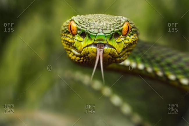 Portrait of a pit viper (Trimeresurus), Riau Islands, Indonesia