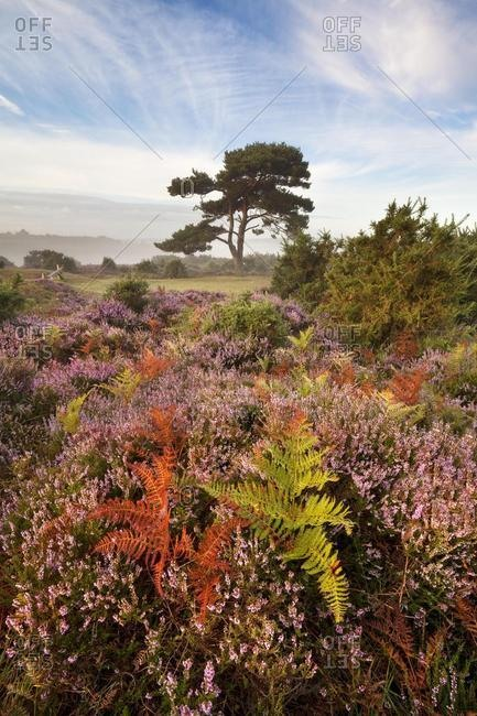Late summer sunrise at Bratley View, New Forest, Hampshire, England, United Kingdom
