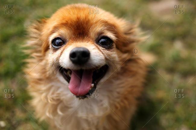 Portrait of a chihuahua dog