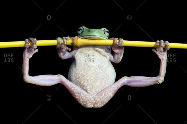 Dumpy tree frog doing gymnastics on a branch, Indonesia