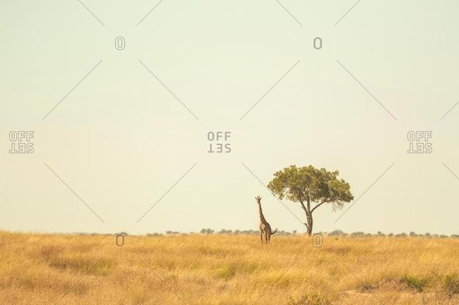 Giraffe standing by a tree in savannah, Kenya