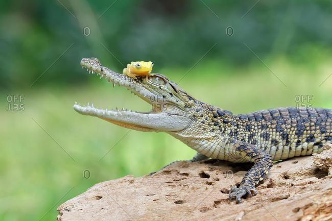 Frog sitting on a  crocodile, Indonesia