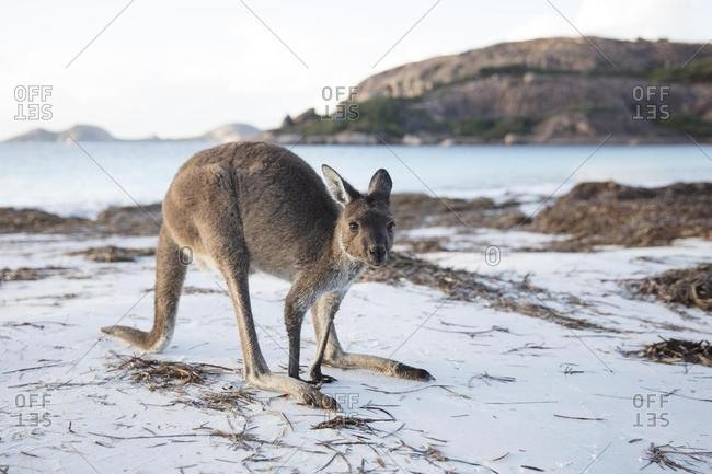 Kangaroo on the beach, Esperance, Western Australia, Australia