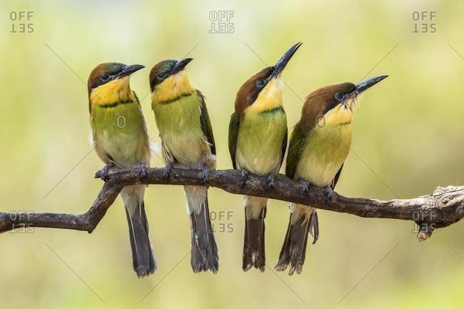 Four bee-eater birds on a branch, Batam, Kepulauan Riau, Indonesia