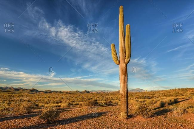 Saguaro Cactus, Lost Dutchman State Park, Arizona, USA