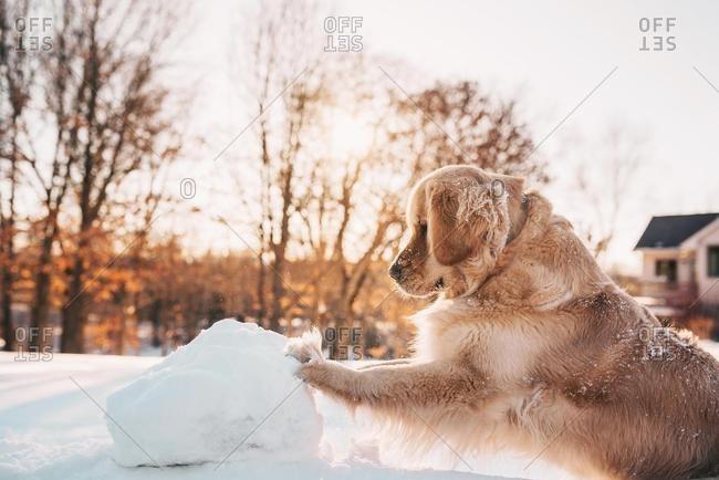 Golden retriever dog pushing a giant snowball