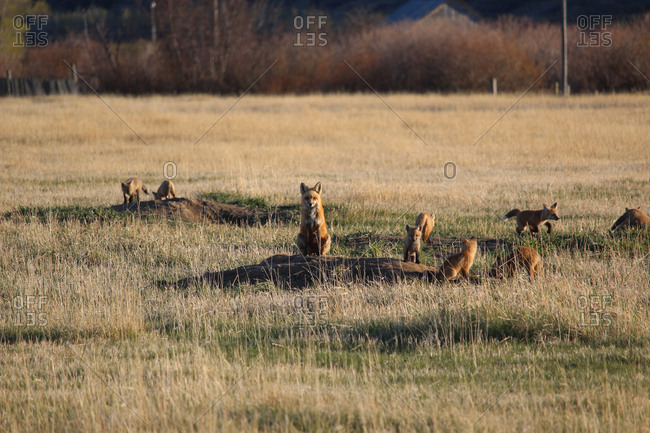 Fox and pups on field at Yellowstone National Park