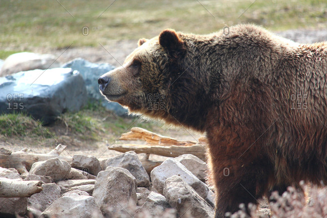 Close-up of bear looking away while standing by rocks at Yellowstone National Park