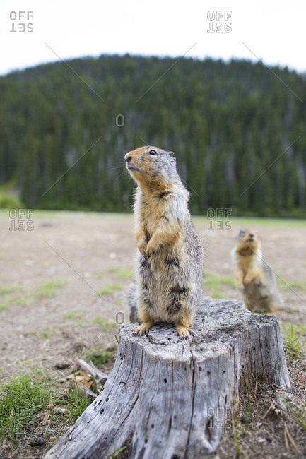 Columbian Ground Squirrel (Urocitellus Columbianus) standing  on stump