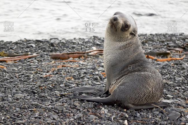 Seal pup at South Georgia Island against sea