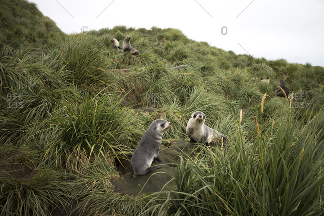 Seal pups amidst tussock at Prion Island against clear sky