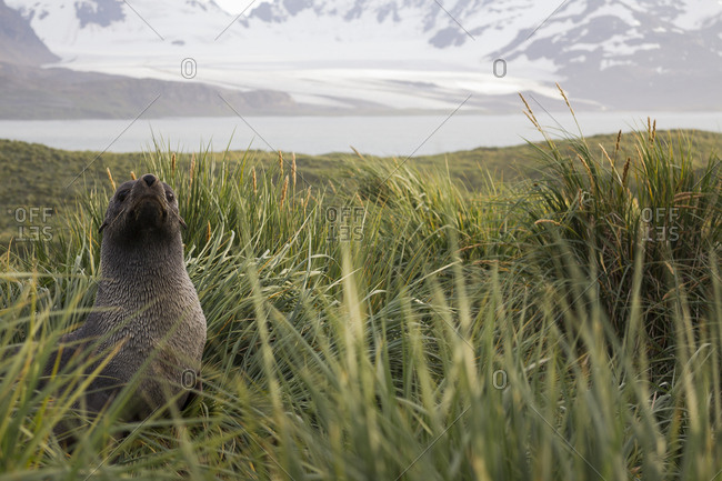 Seal pup amidst tussock at Prion Island