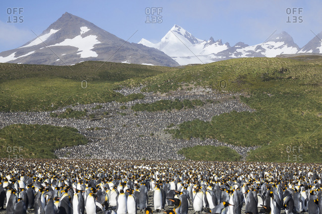 High angle view of colony of king penguins against mountains