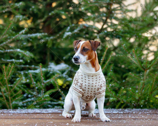 Jack Russell Terrier wearing a sweater with fir in the background