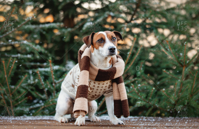 Jack Russell Terrier wearing a sweater and scarf outdoors