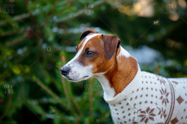 Close up of Jack Russell Terrier wearing a sweater outside with fir in the background