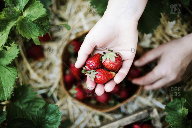 Closeup of a woman۪s hands holding fresh strawberries.