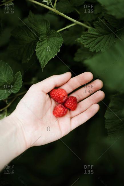 Hand picked freshly raspberries.