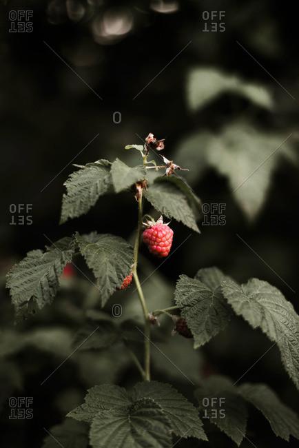 Raspberry on the vine.