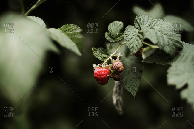 Raspberry on the vine.