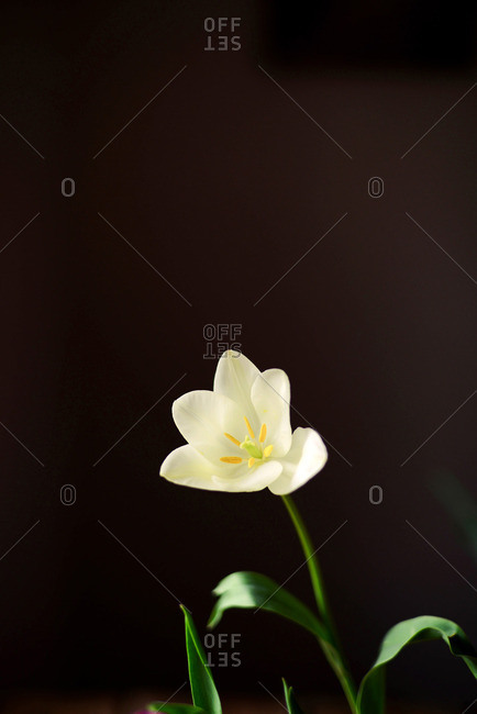 White tulip with green leaves in a vase. Modern floral simple design