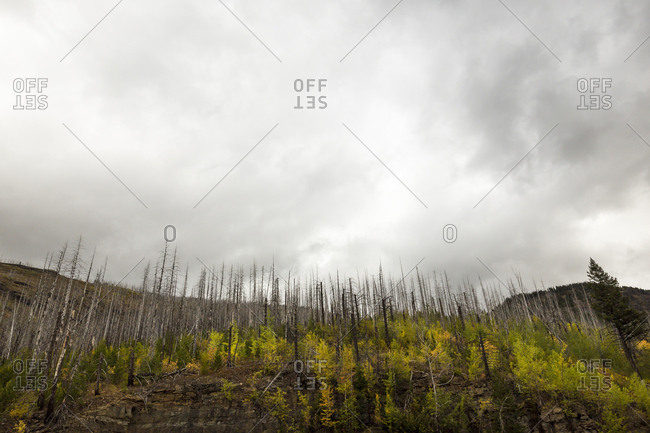 Dead trees from an old fire at Glacier National Park, Montana