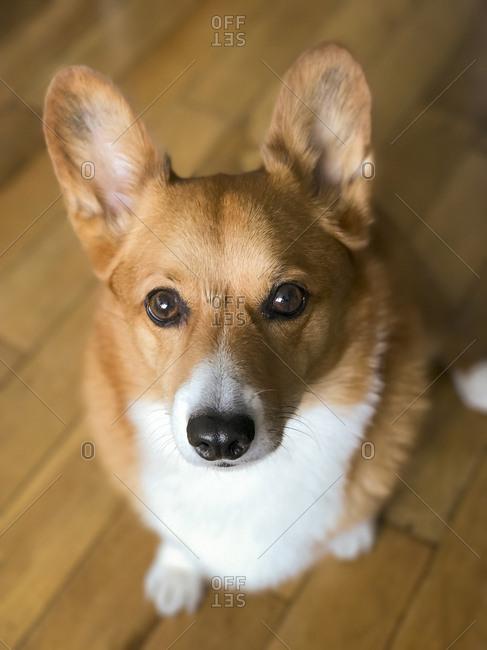 An adorable and cute corgi dog looks at the camera, New York City.