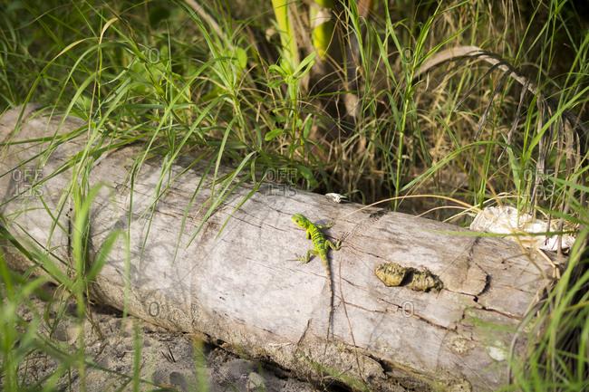 A bright green lizard on a log on Little Corn Island, Nicaragua.