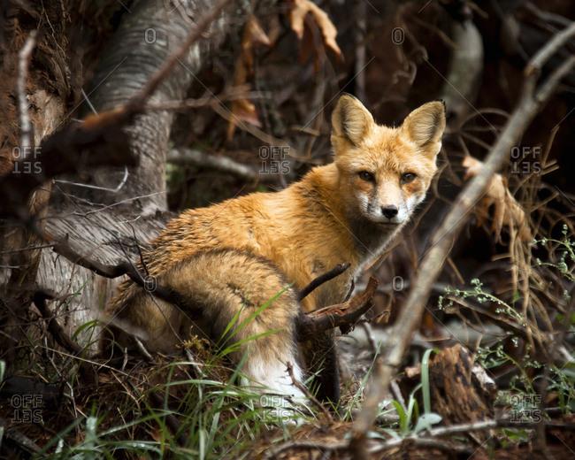 Portrait of fox standing on field in forest