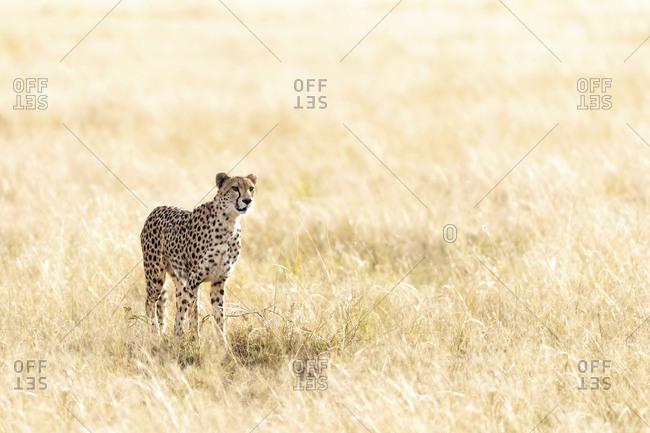 Cheetah standing on grassy field at Maasai Mara National Reserve