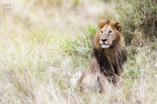 Lion sitting on grassy field at Maasai Mara National Reserve