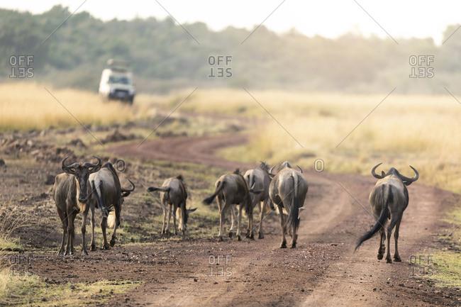 Wildebeest walking on dirt road at Maasai Mara National Reserve