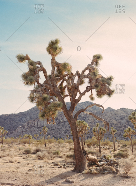 large Joshua tree with a soft pink and blue sunset and rocky mountain