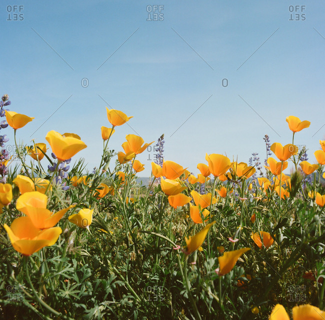 field of wild flower poppies and lupine beneath a blue sky on film