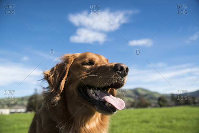 Close-up of dog panting while standing against blue sky