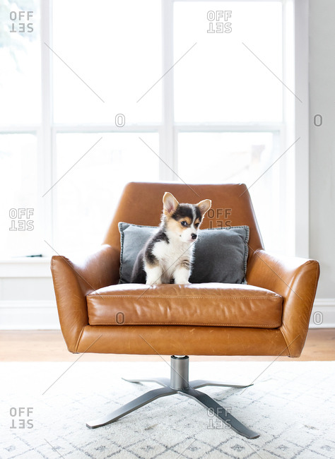 Adorable tricolor corgi puppy sitting in leather chair backlit