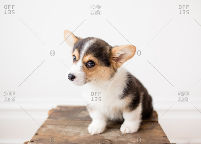Adorable small tricolor welsh corgi puppy sitting with tilted head