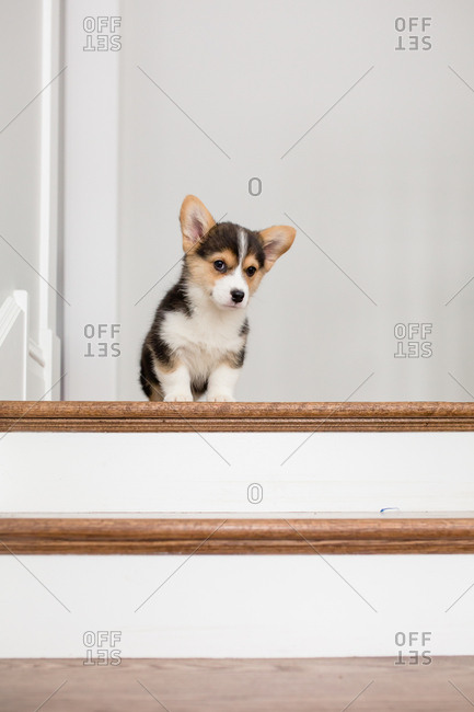 Adorable small welsh corgi puppy sitting at top of stairs inside