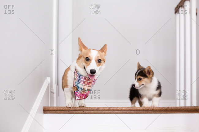 Large and small welsh corgis standing on top of staircase indoors